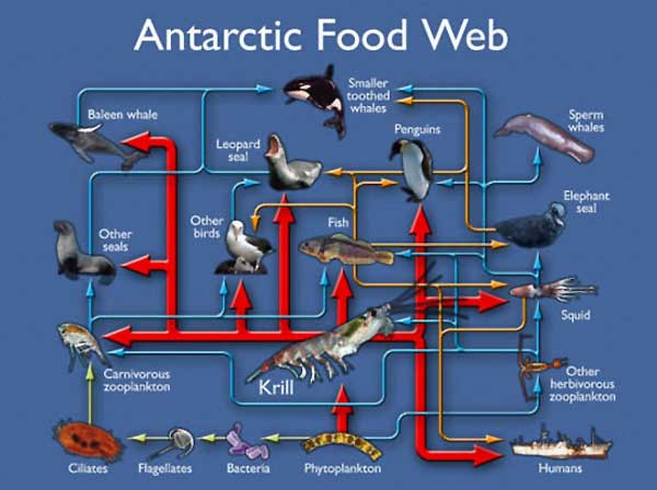 antarctic-foodweb